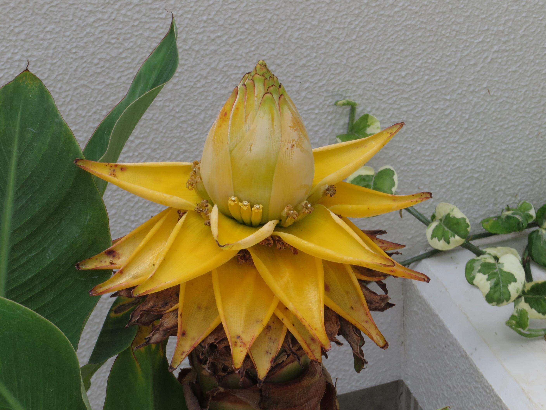 golden lotus banana chiyu kinren khaaw 39 s picture book. Black Bedroom Furniture Sets. Home Design Ideas