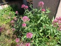 セントランサス 花の咲いている姿