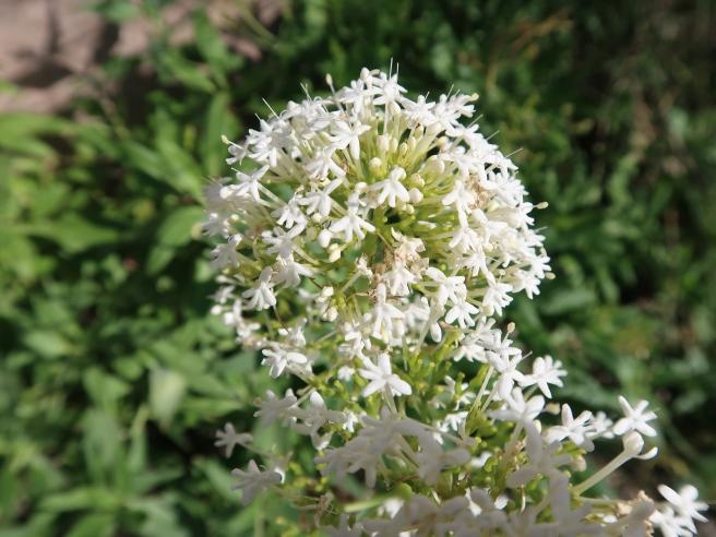セントランサス 白花の花の様子
